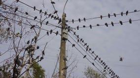 Vogels die op machtslijnen in de stad bij dag zitten stock videobeelden