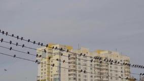 Vogels die op machtslijnen in de stad bij dag zitten stock video