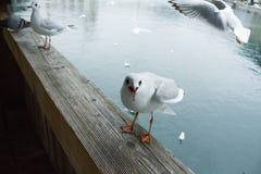 Vogels die toeristen op de brug aanvallen royalty-vrije stock afbeeldingen