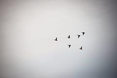 Vogels die in vorming vliegen Stock Afbeeldingen