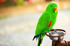 Vogels, Dieren De Papegaai van Eclectus van het Eiland van Solomon Reis, toerisme Stock Fotografie