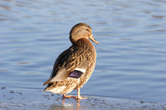 Vogels, Eend stock afbeelding