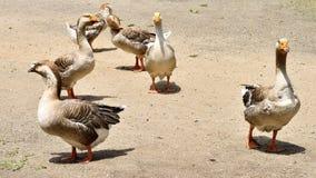 Vogels, Ganzen op Land Stock Fotografie