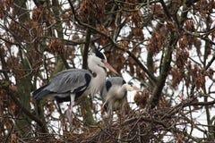 VOGELS - Grey Heron stock fotografie