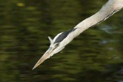 VOGELS - Grey Heron royalty-vrije stock foto