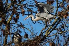 VOGELS - Grey Heron royalty-vrije stock fotografie