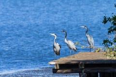 Vogels Grey Herons Water Wildlife royalty-vrije stock fotografie