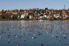 Vogels helemaal over het meer Stock Afbeeldingen