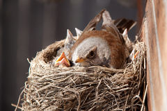Vogels in het nest Stock Foto's