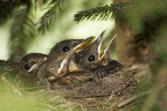Vogels in het nest Stock Foto's