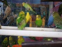 Vogels in kooi Royalty-vrije Stock Foto's