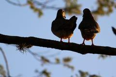 Vogels in liefde op de boom Stock Foto's