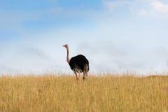 Vogels in Masai Mara Stock Foto