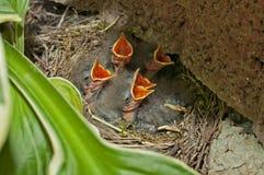 Vogels in nest Stock Afbeelding