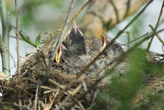 Vogels in nest Royalty-vrije Stock Foto