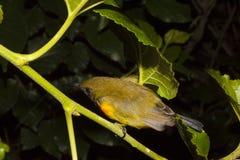 Vogels olijf-Gesteunde Sunbird-slaap royalty-vrije stock foto