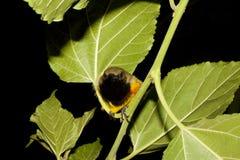 Vogels olijf-Gesteunde Sunbird-slaap royalty-vrije stock afbeelding