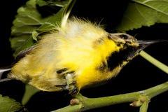 Vogels olijf-Gesteunde Sunbird-slaap stock afbeelding
