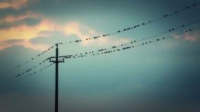 Vogels op de draden stock footage