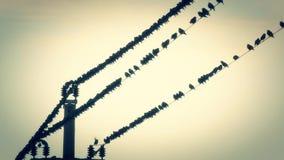 Vogels op de draden bij zonsondergang stock videobeelden