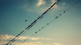 Vogels op de draden bij zonsondergang stock footage