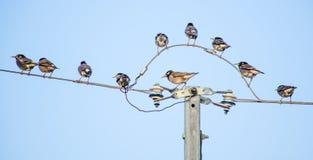 Vogels op de elektrische kabel Stock Fotografie