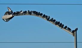 Vogels op de Lichte Achtergrond van Pool. Stock Foto