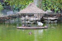 Vogels op de vijver in het park van Madrid Royalty-vrije Stock Foto
