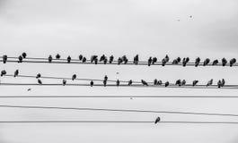 Vogels op draad Stock Foto's
