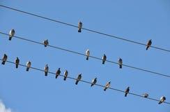 Vogels op Draden royalty-vrije stock foto