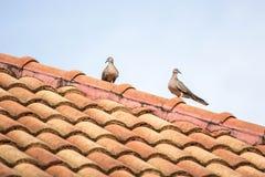 Vogels op het dak Stock Afbeeldingen
