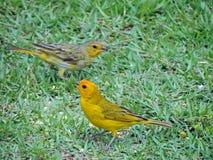 Vogels op het gras Royalty-vrije Stock Foto's