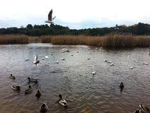 Vogels op het meer royalty-vrije stock fotografie