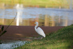 Vogels op het meer Royalty-vrije Stock Foto