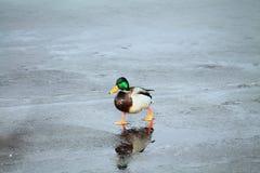 Vogels op ijs royalty-vrije stock afbeeldingen