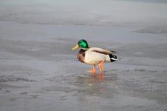 Vogels op ijs royalty-vrije stock foto