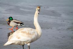 Vogels op ijs royalty-vrije stock afbeelding