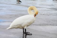 Vogels op ijs royalty-vrije stock foto's