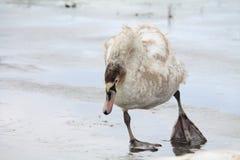 Vogels op ijs stock afbeelding