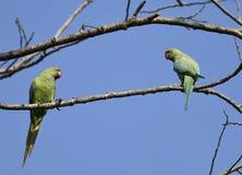Vogels: Paar van Rose Ringed Parakeet Perched op Tak van een Boom die elkaar bekijken royalty-vrije stock afbeeldingen