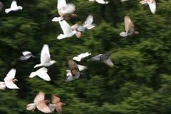 Vogels tijdens de vlucht Stock Afbeeldingen
