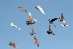 Vogels tijdens de vlucht Royalty-vrije Stock Foto