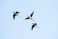 Vogels tijdens de vlucht Royalty-vrije Stock Fotografie