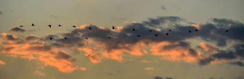 Vogels tijdens de vlucht Een troep van kranen vliegt bij zonsondergang Grijze vogel met lange hals Zonsonderganghemel met wolkena stock afbeeldingen