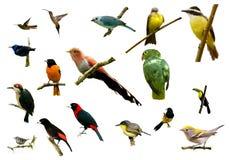 Vogels van Costa Rica Stock Afbeeldingen