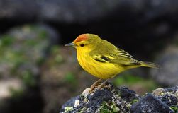 Vogels 19 van de Galapagos royalty-vrije stock foto's