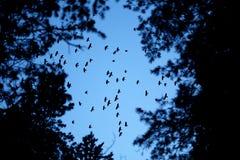 Vogels van de kraai stock afbeeldingen
