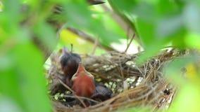 Vogels van de moeder de voedende baby stock videobeelden