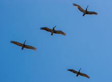 Vogels van een Troep van de Veer samen Stock Foto's