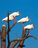 Vogels van een veer Royalty-vrije Stock Foto